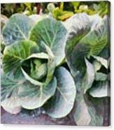 Large Leaves Of A Cabbage Plant Canvas Print