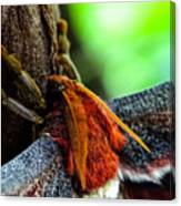 Large Moth Macro Canvas Print