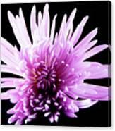 Large Purple Chrysanthemum-1 Canvas Print
