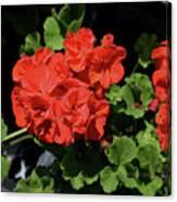 Large Red Begonia Bloom Canvas Print