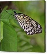 Large White Tree Nymph Butterfly On Green Foliage Canvas Print