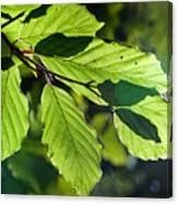 Last Of The Summer Leaves Canvas Print