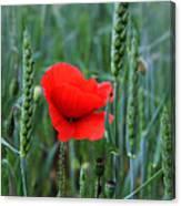 Last Poppy Canvas Print