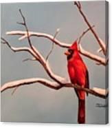 Last Snow Of Winter, Cardinal Canvas Print