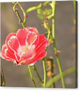 Late Beauty Between Thorns Canvas Print