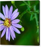 Late Purple Aster Canvas Print
