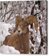 Late Winter Big Horns Canvas Print