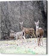 Late Winter Whitetails Canvas Print