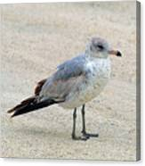 Laughing Gull Canvas Print