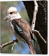 Laughing Kookaburra A Canvas Print