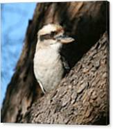 Laughing Kookaburra  Canvas Print