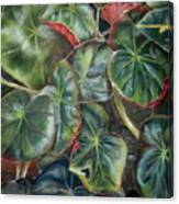 Laura's Begonia Canvas Print