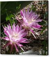 Lavendar Cactus Flowers Canvas Print