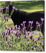 Lavender And Black Lab Canvas Print