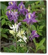 Lavender And White Columbine Canvas Print