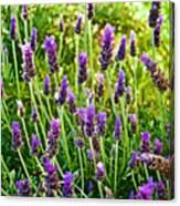 Lavender At Pilgrim Place In Claremont-california Canvas Print