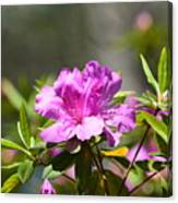 Lavender Rhododendrun Canvas Print