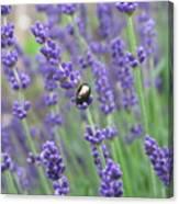 Lavender Beetle Canvas Print