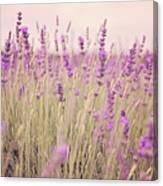 Lavender Blossom Canvas Print