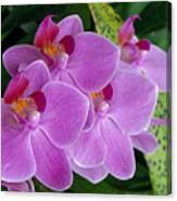 Lavender Colored Orchids Canvas Print