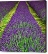Lavender Dream Canvas Print