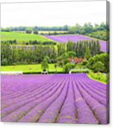 Lavender Farms In Sevenoaks Canvas Print