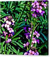 Verbena At Pilgrim Place In Claremont-california   Canvas Print