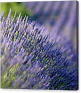 Lavender Flowers In A Field Canvas Print