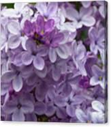 Lavender Lilacs Canvas Print