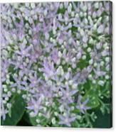 Lavender Lovelies Canvas Print