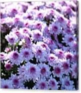 Lavender Mums Canvas Print