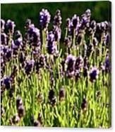 Lavender Pano Canvas Print