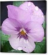 Lavender Pansy And Rain Canvas Print