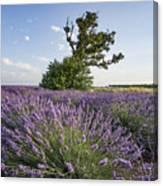 Lavender Provence  Canvas Print