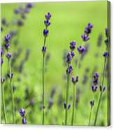 Lavender Spikes  Canvas Print