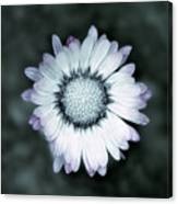 Lawn Daisy - Toned Canvas Print