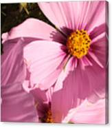 Layers Of Pink Cosmos Canvas Print
