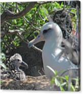 Laysan Albatross Chick Canvas Print