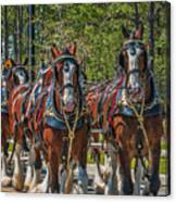 Leading The Way-budweiser Clydesdales Canvas Print