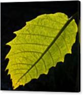 Leaf Aglow Canvas Print