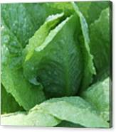 Leaf Lettuce Part 3 Canvas Print