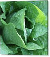 Leaf Lettuce Part 4 Canvas Print