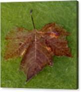 Leaf On Algae Canvas Print