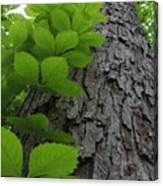 Leafy Ladder Canvas Print