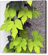 Leafy Vine Canvas Print