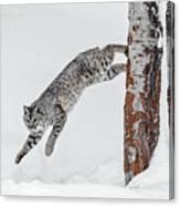 Leapin Bobcat Canvas Print
