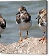 Least Sandpipers Canvas Print