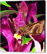 Least Skipper Butterfly Canvas Print