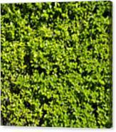 Privacy Hedge Canvas Print