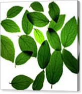Leaves on White Canvas Print